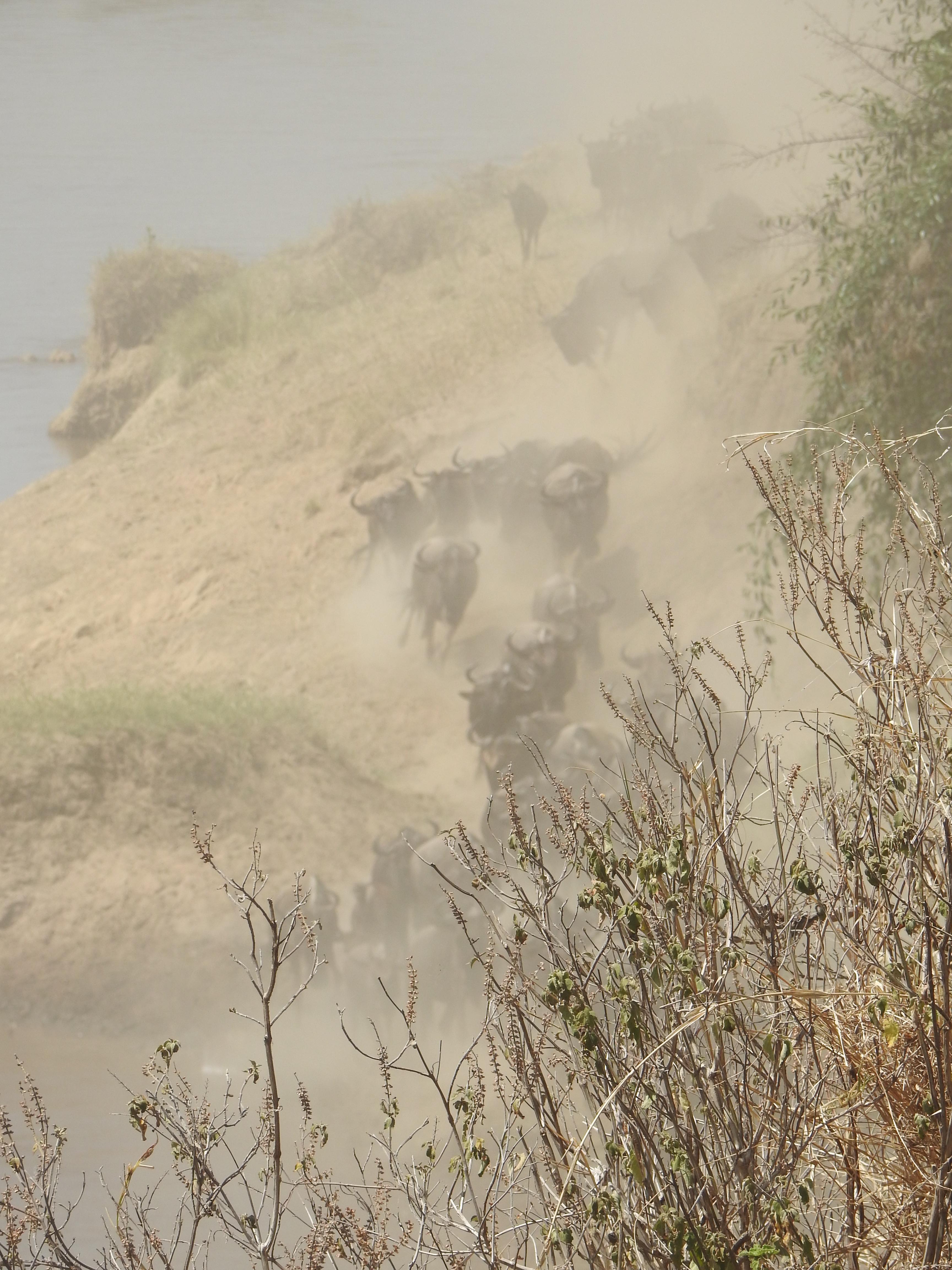 2_dusty_wildebeestJPG.jpg