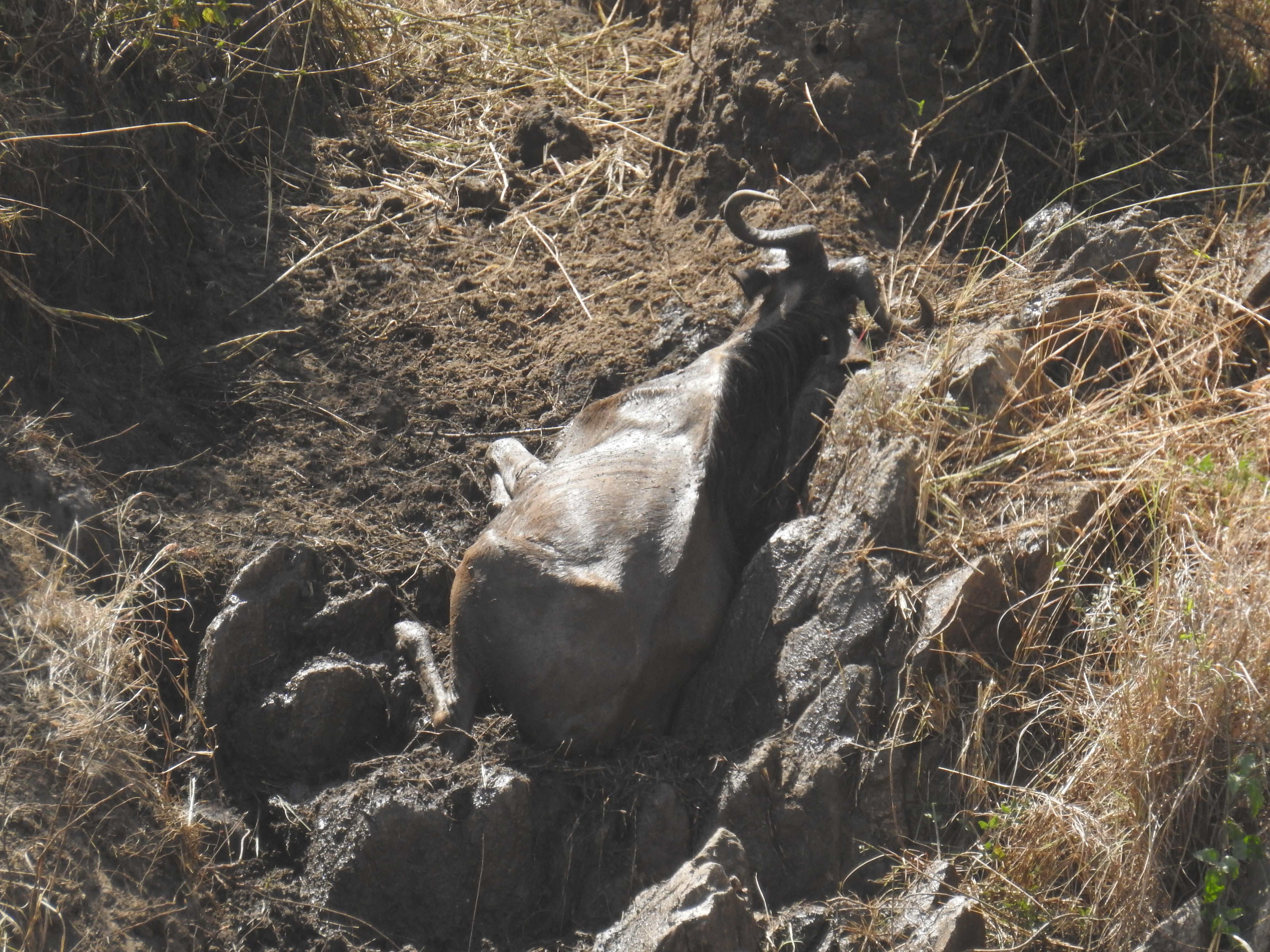 4_injured_wildebeest-1.jpg