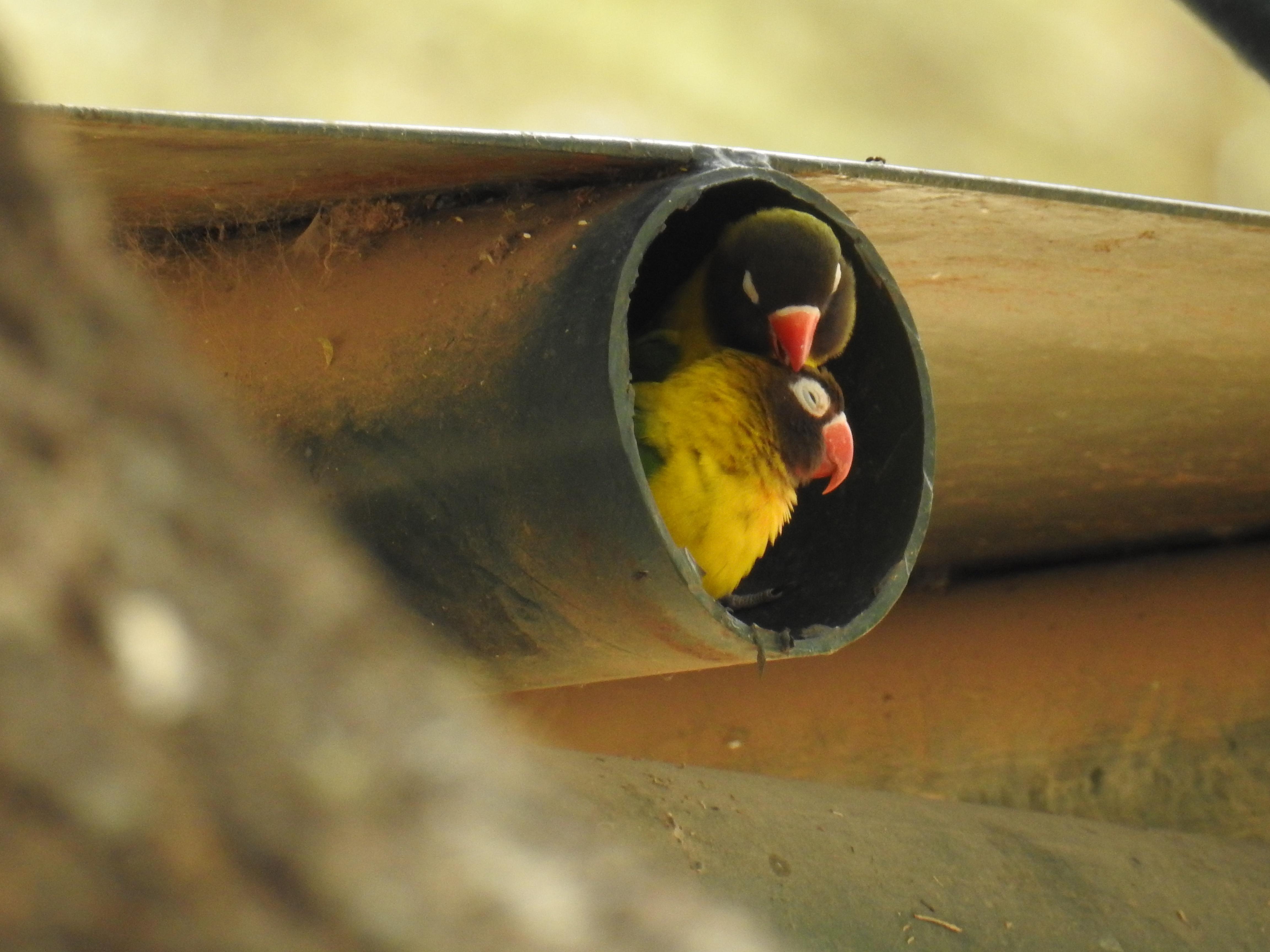 Bird_in_pipe.jpg