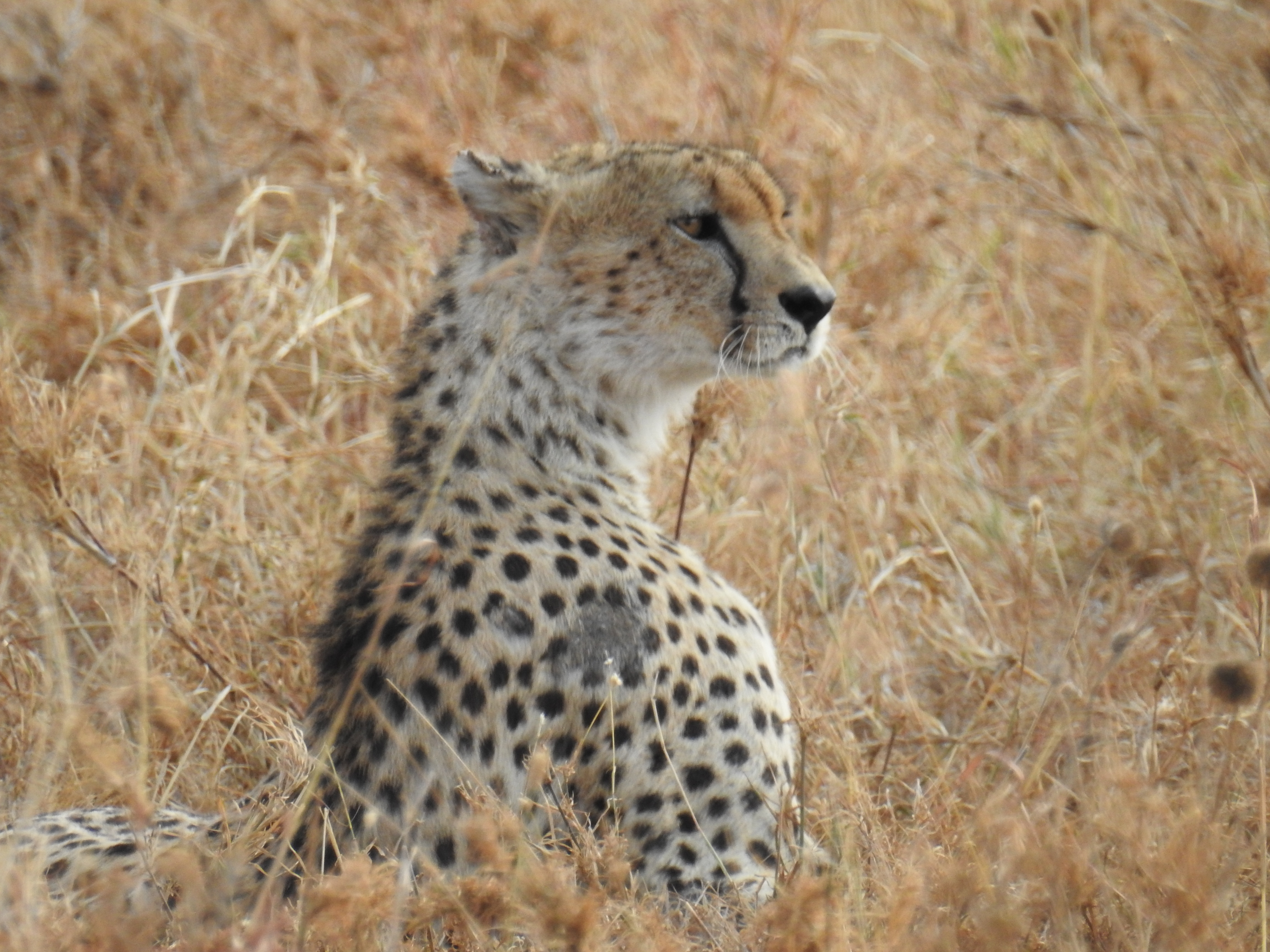 Cheetah_profile1.jpg