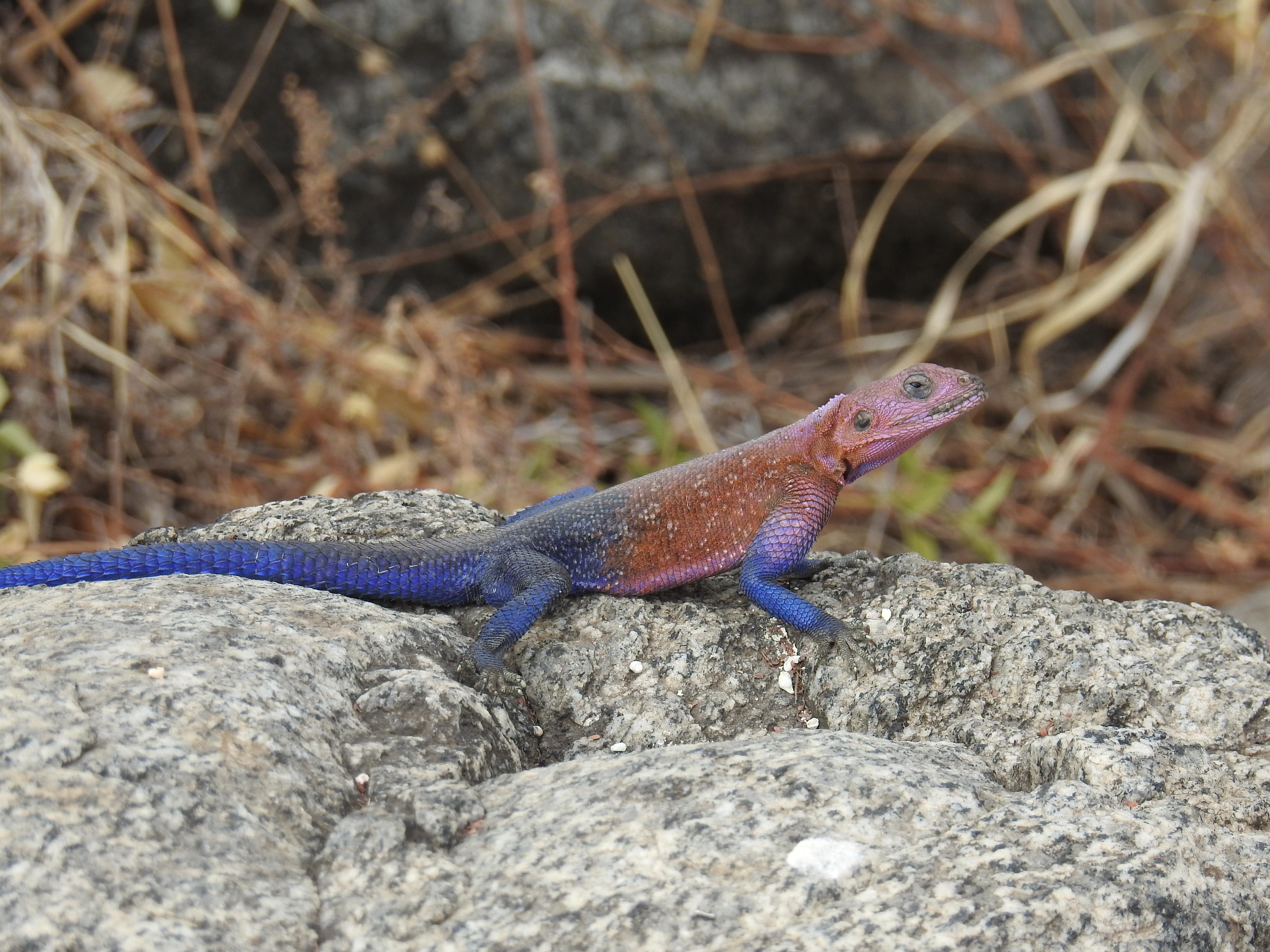 Colored_lizard.jpg