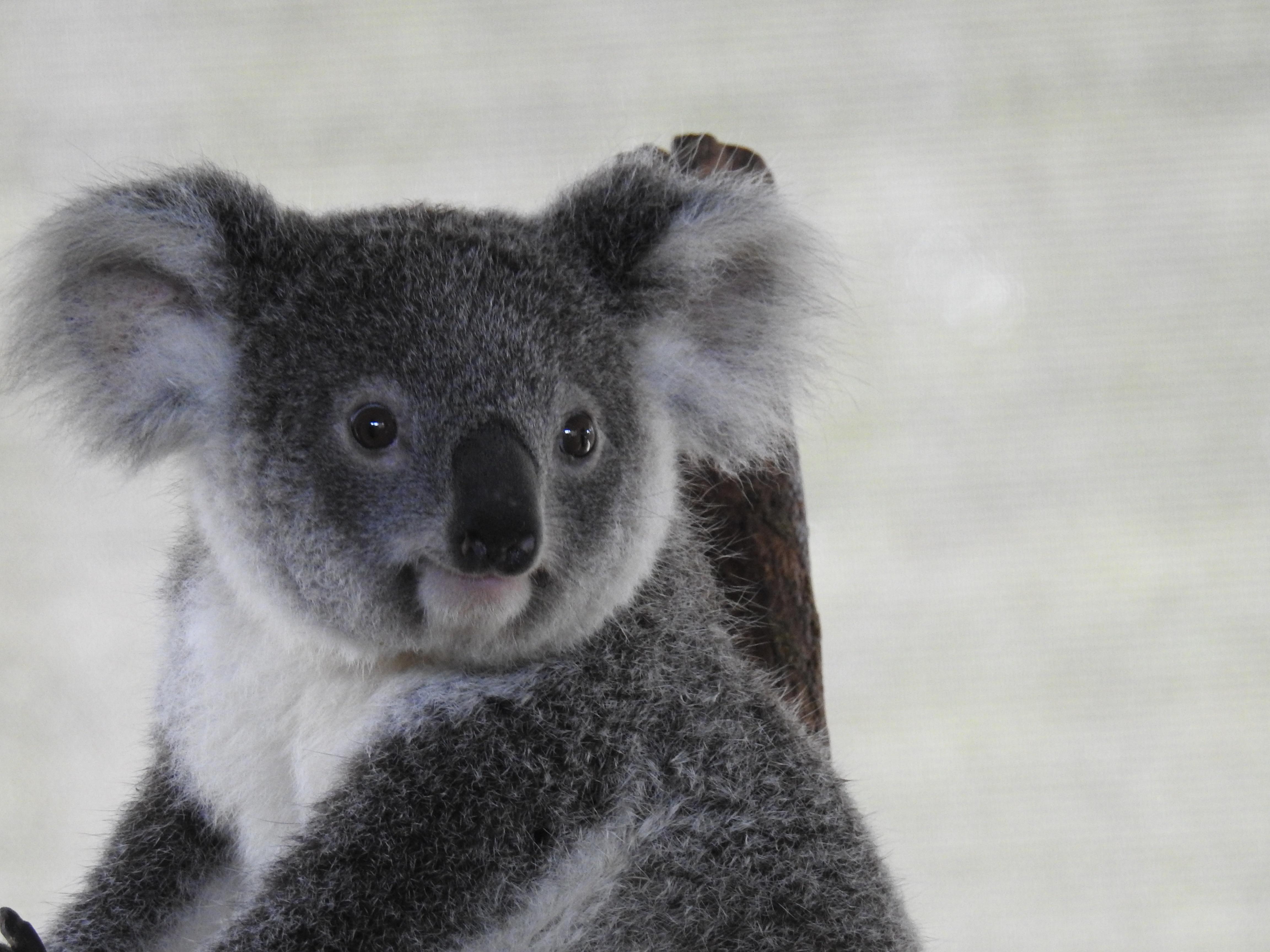 Cute Koala.jpg