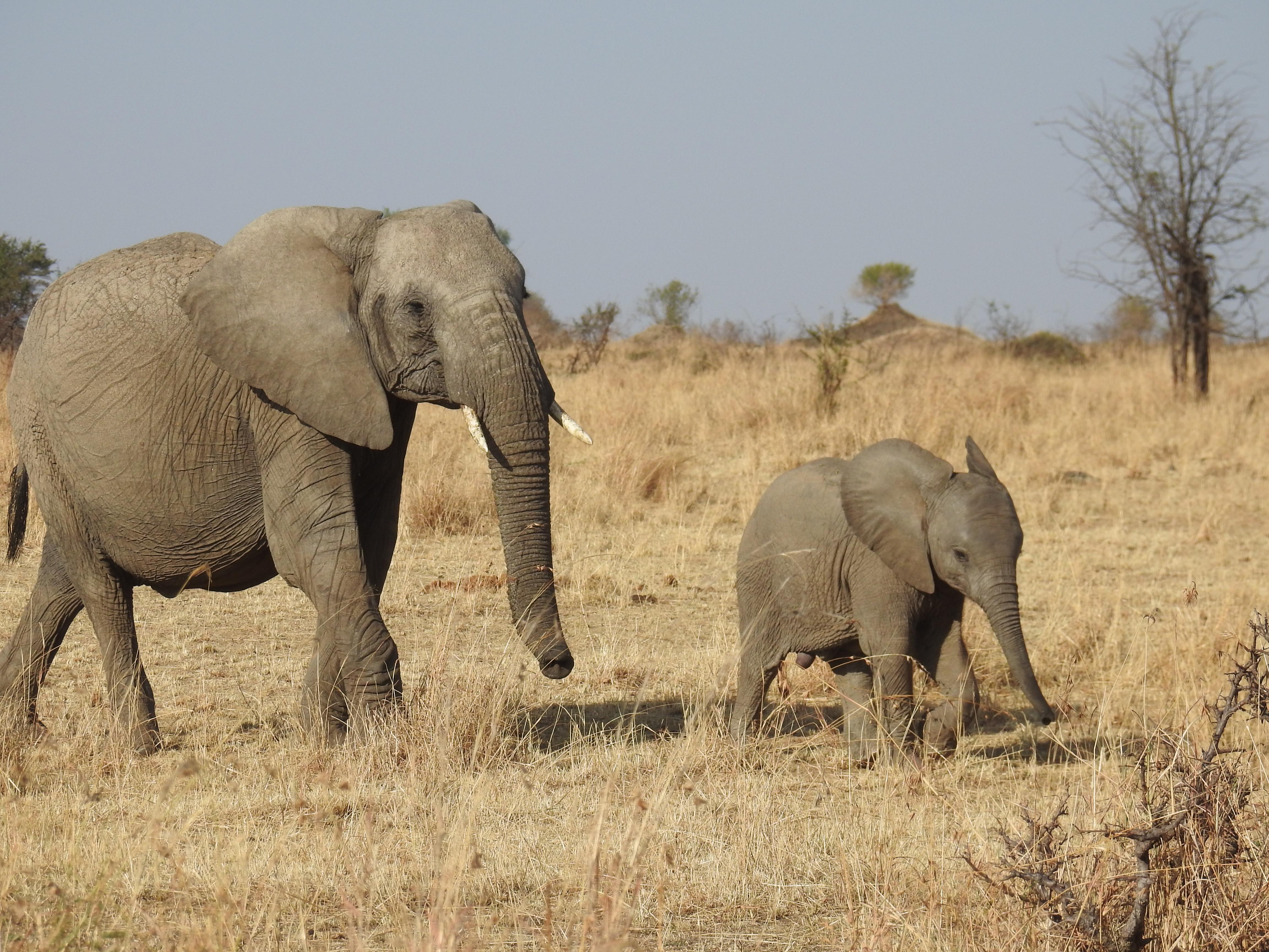 Elephant_calf_1.jpg