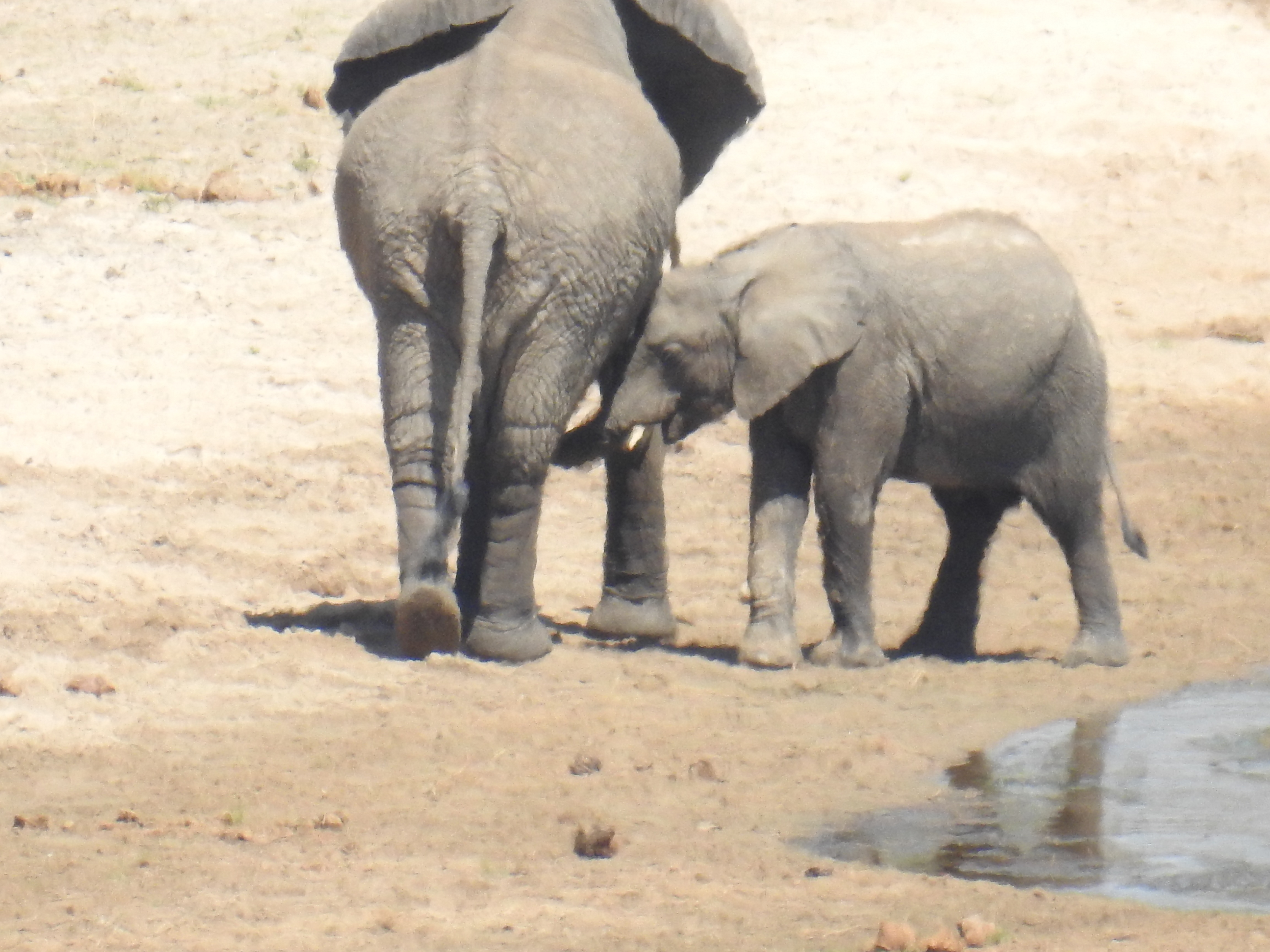 Elephant_nursing.jpg