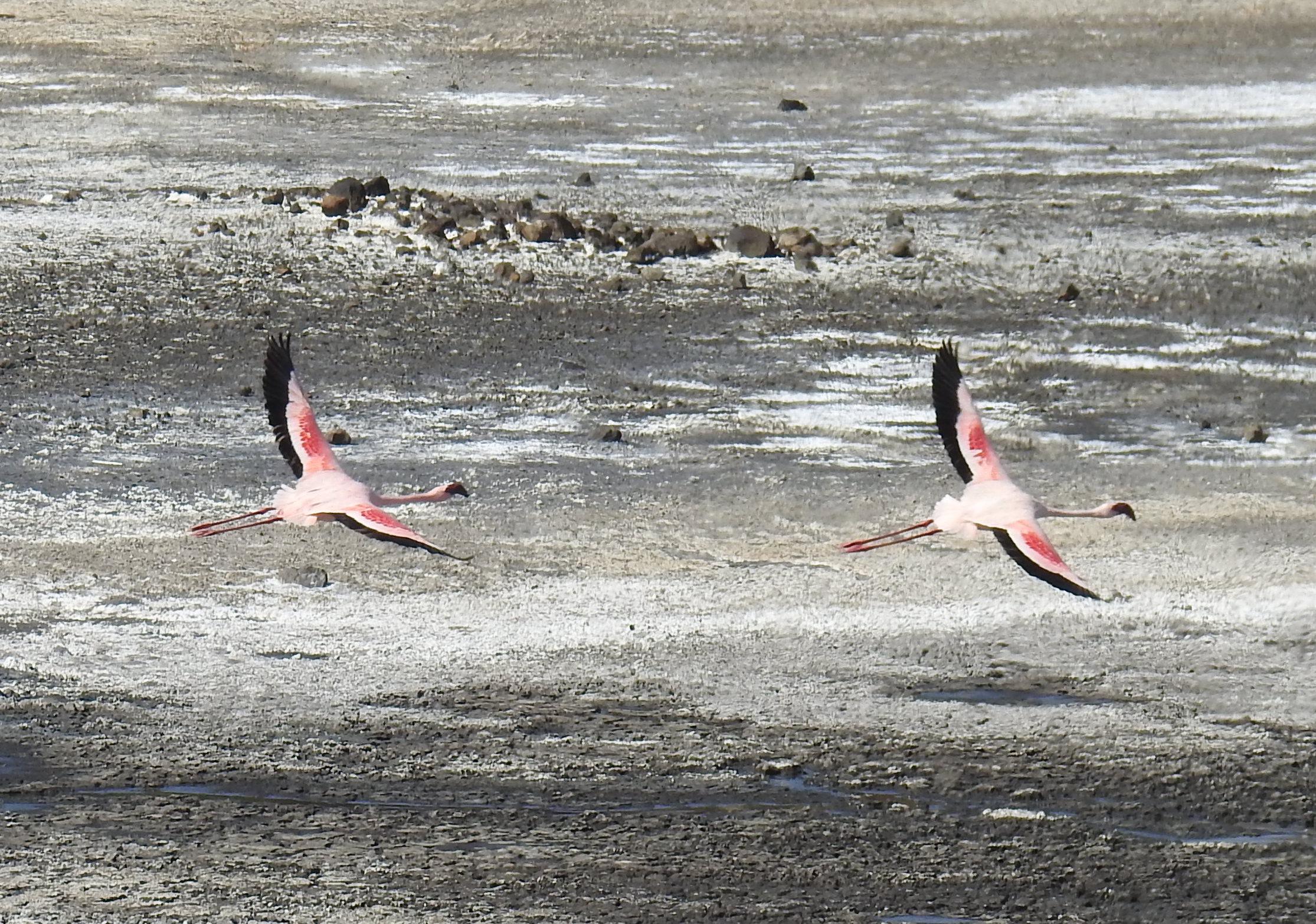 Flamingos_flying.jpg