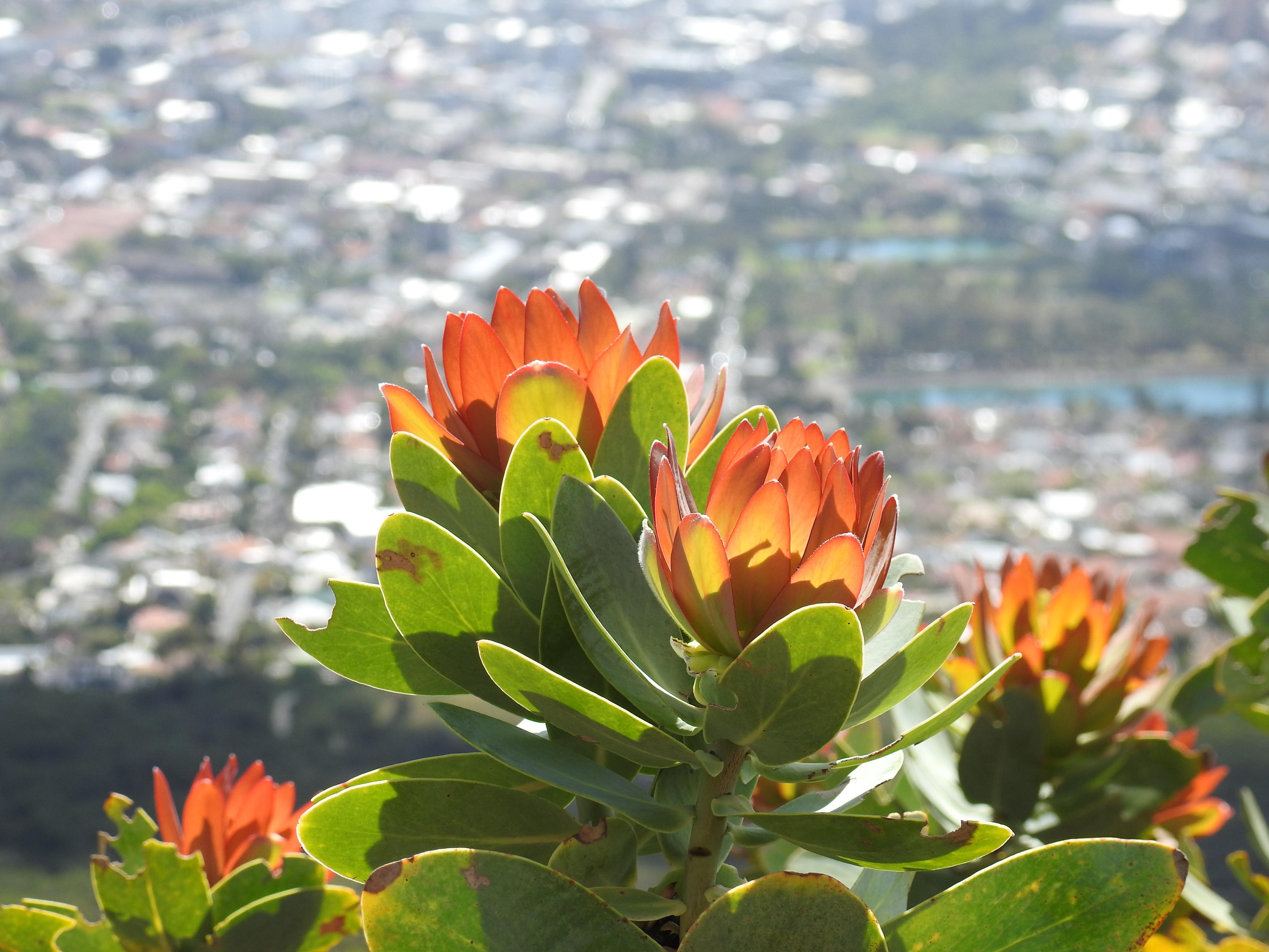 Flower_orange_mountain.jpg