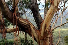 GUm tree bark.jpg