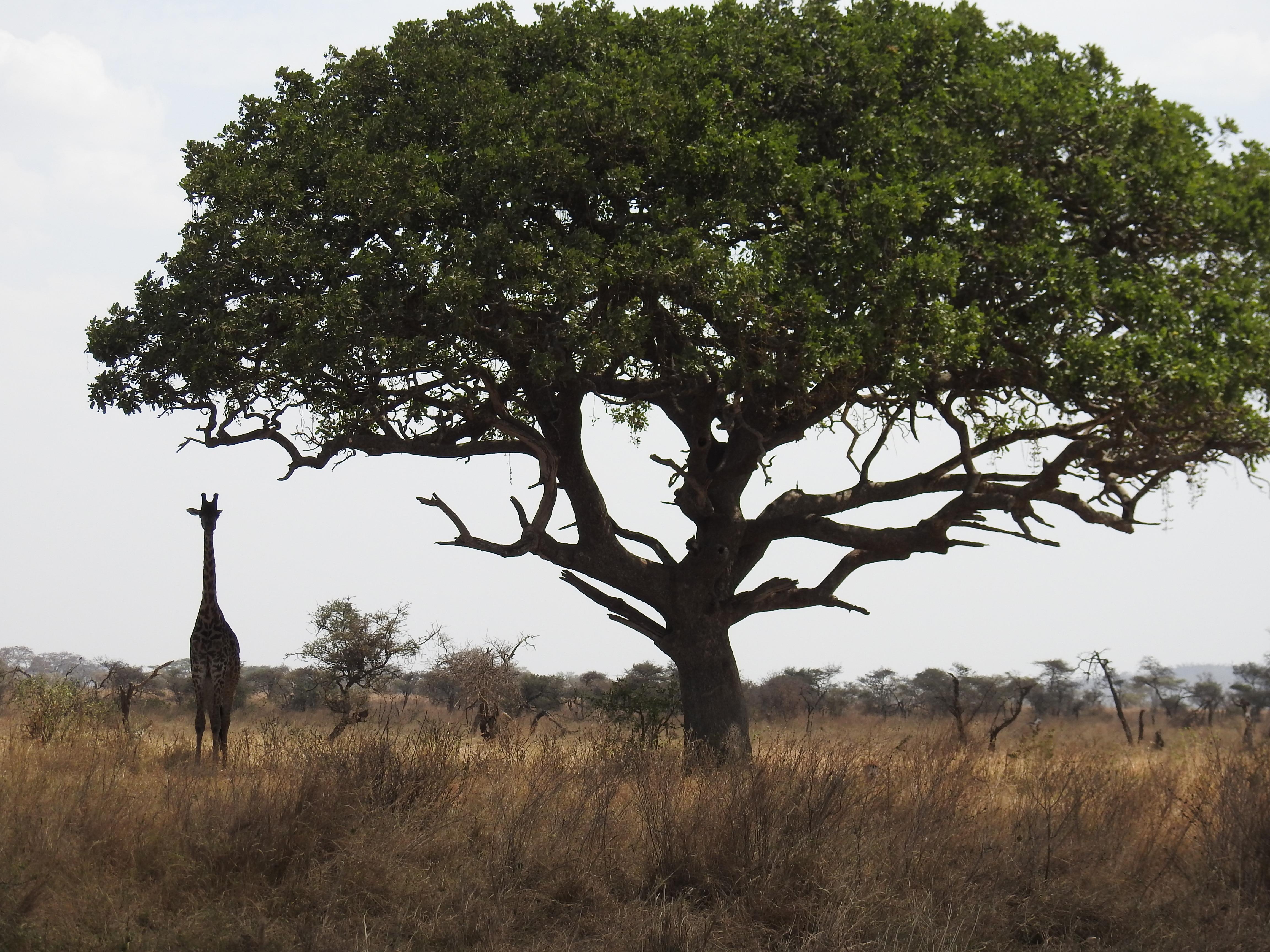 Giraffe_and_Tree.jpg