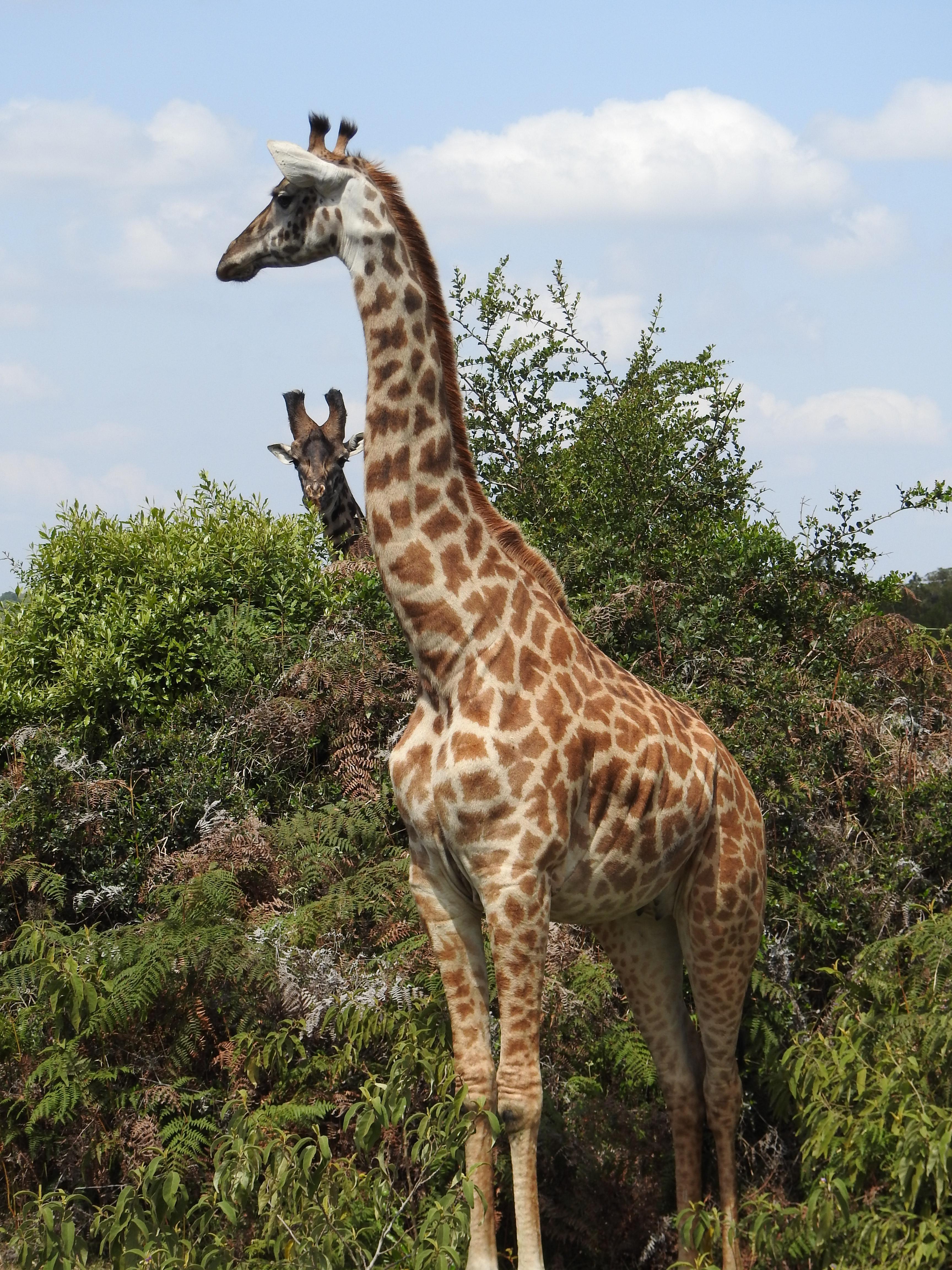 Giraffes_2JPG.jpg