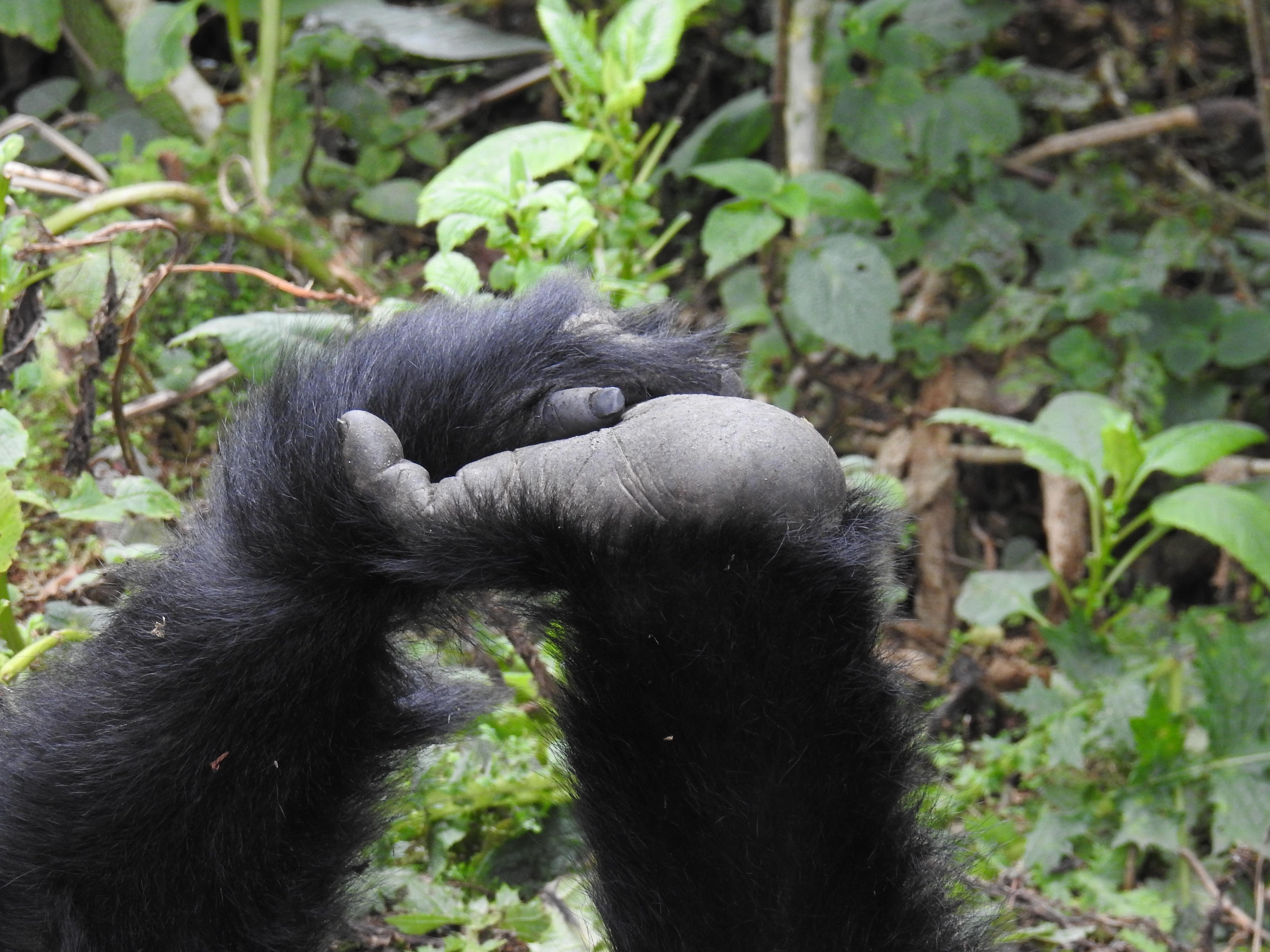 Gorilla_hands.jpg