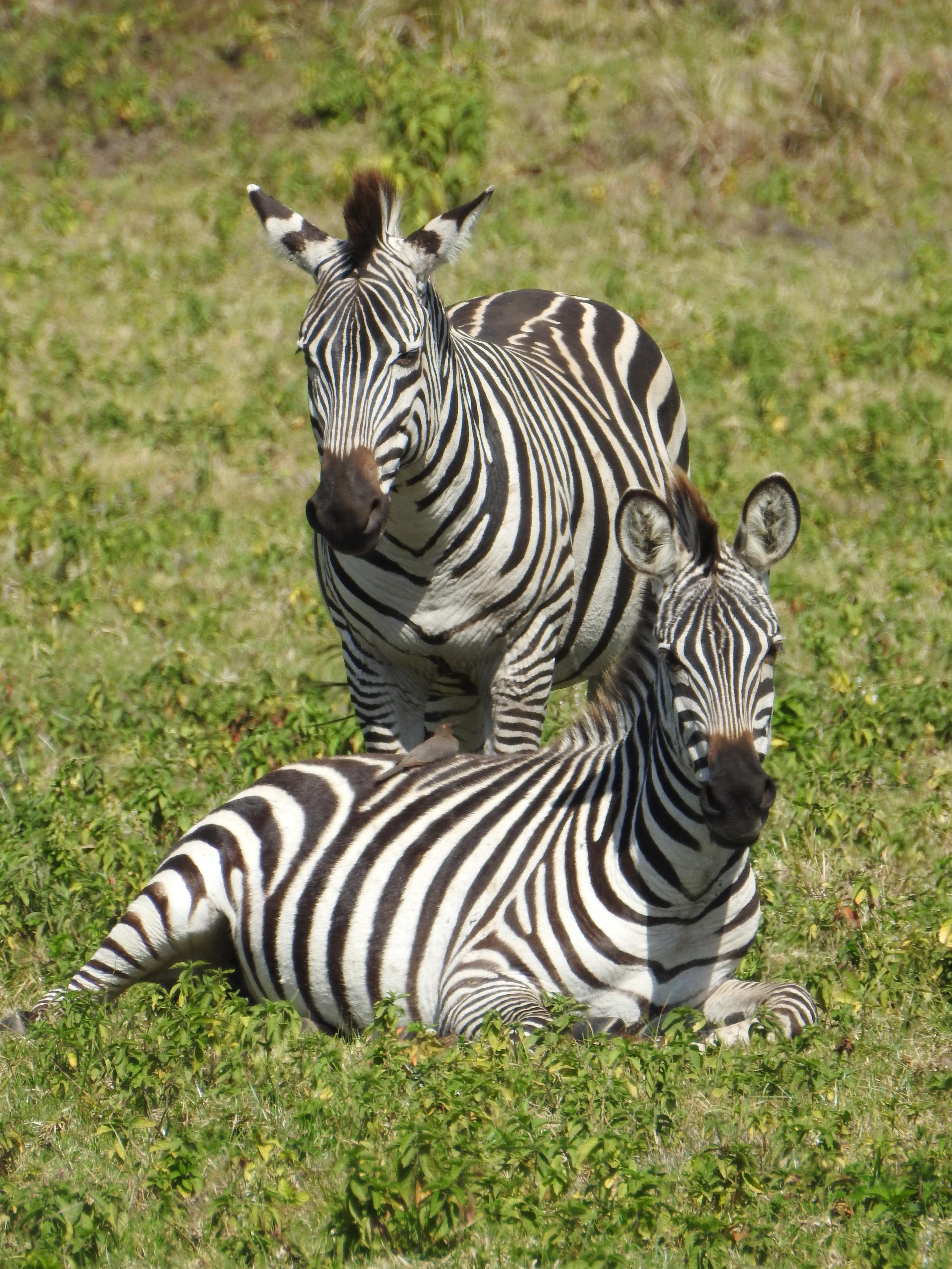 Great_Zebra.jpg
