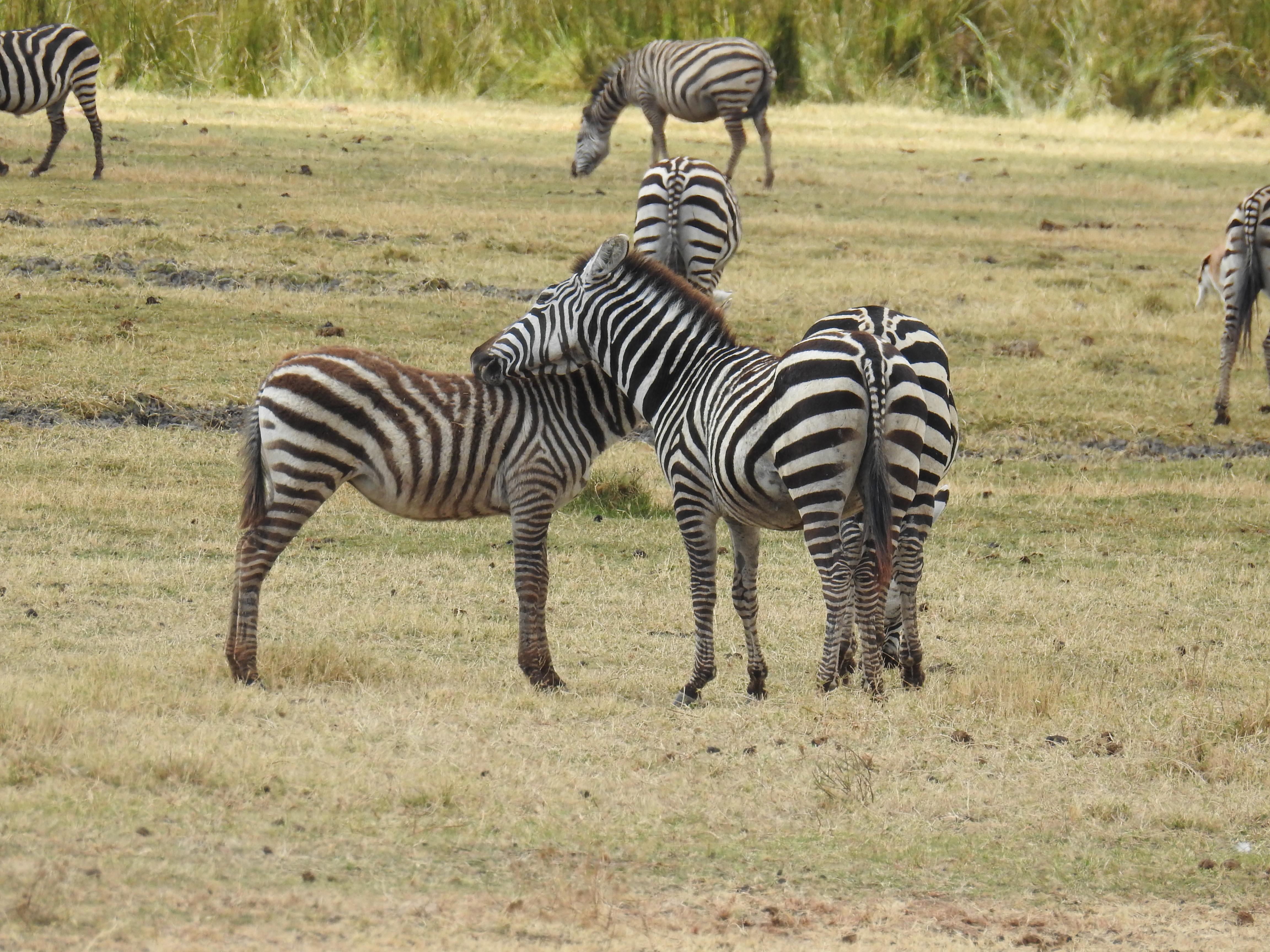 Grroming_zebra.jpg