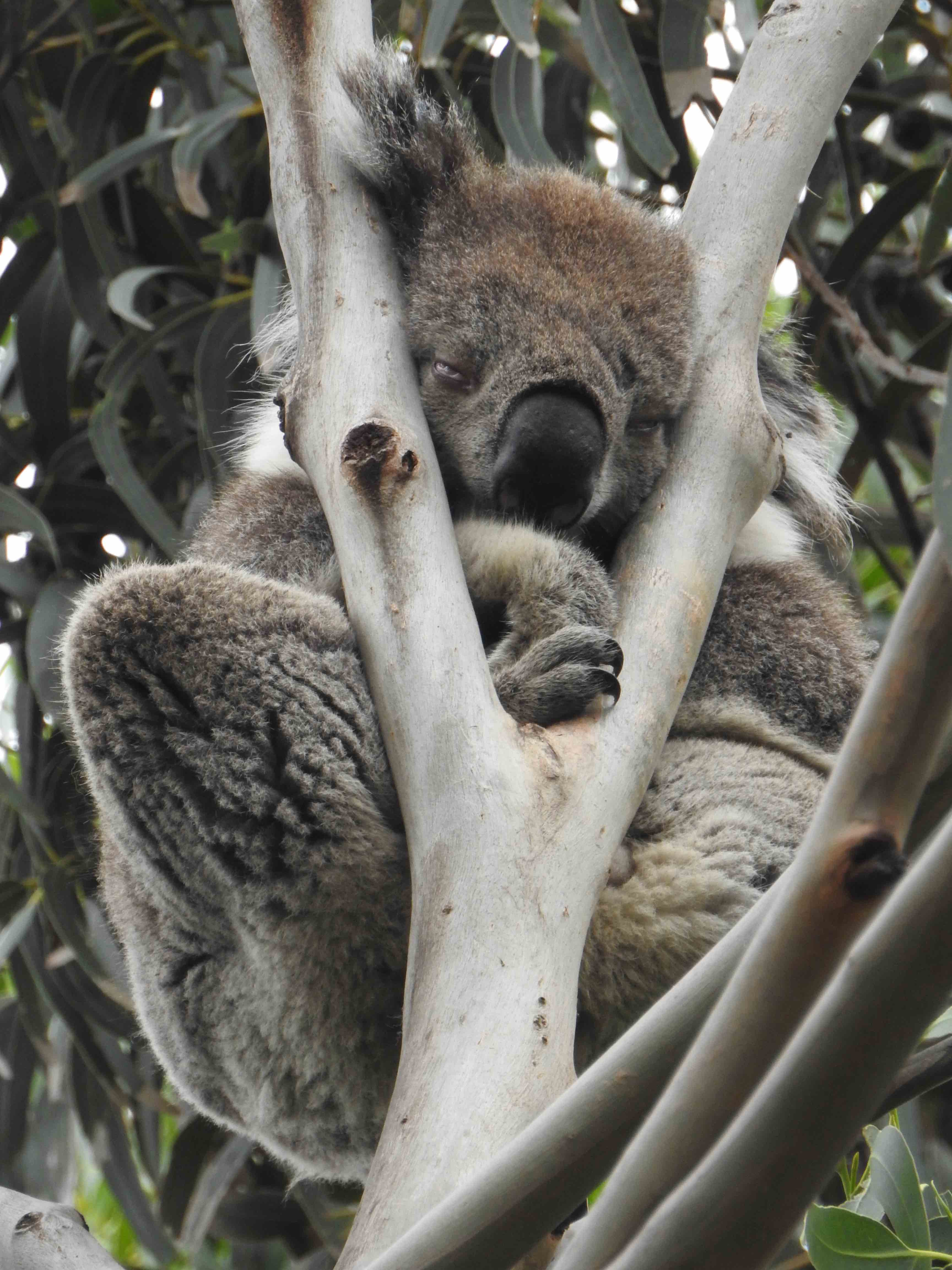 Koala in tree.jpg