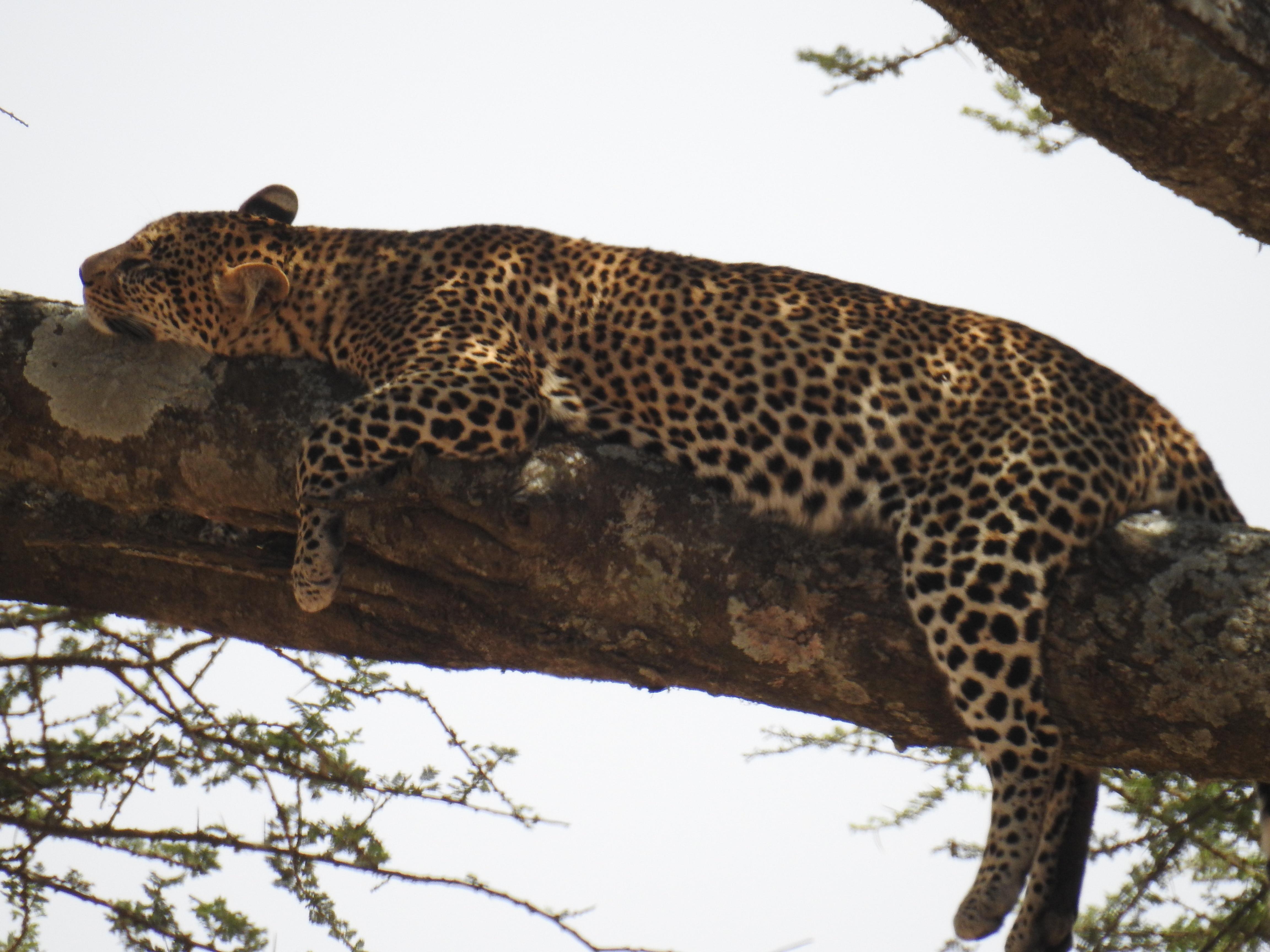 Leopard_lt_med2.jpg