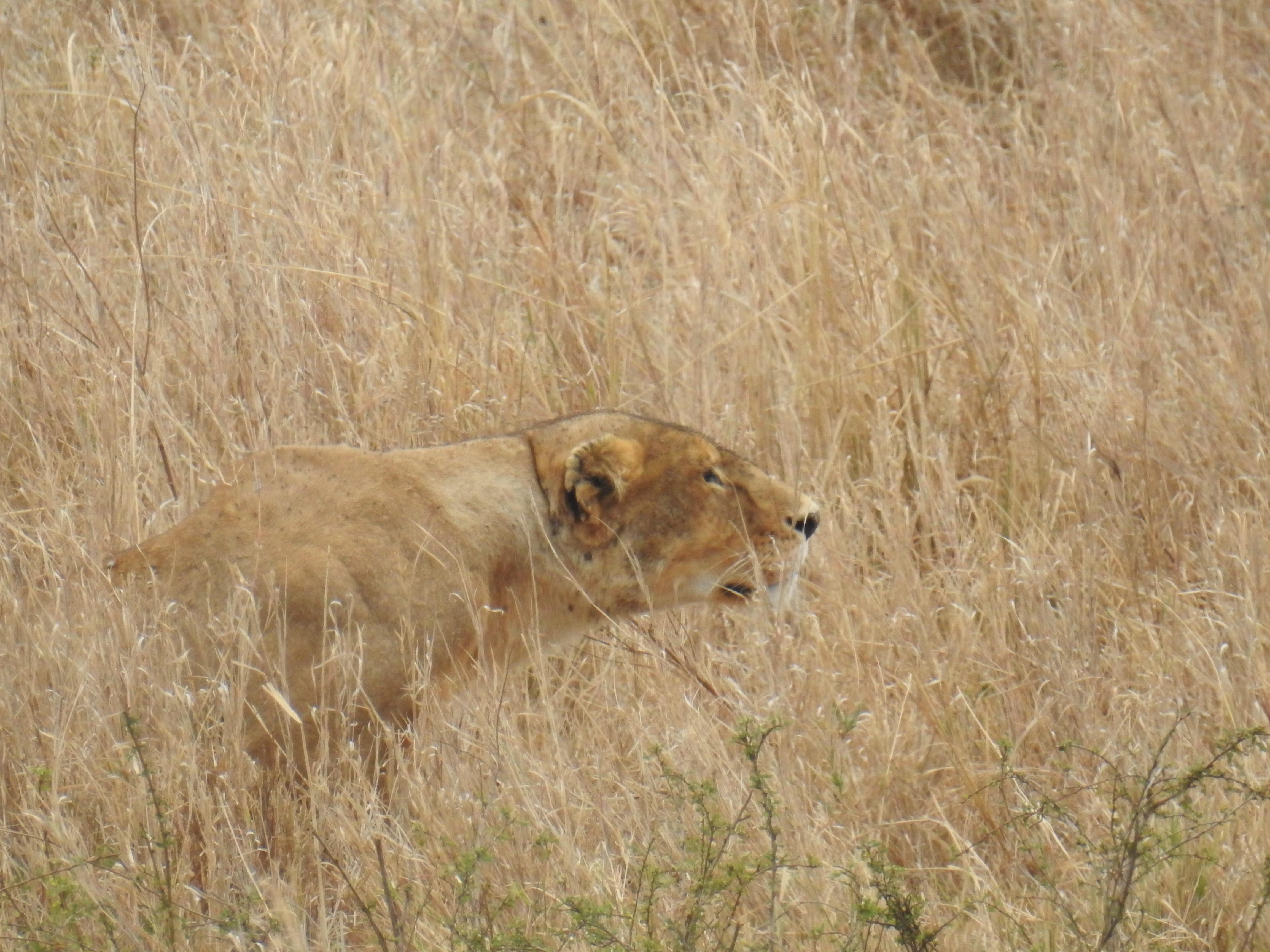Lioness_focused.jpg