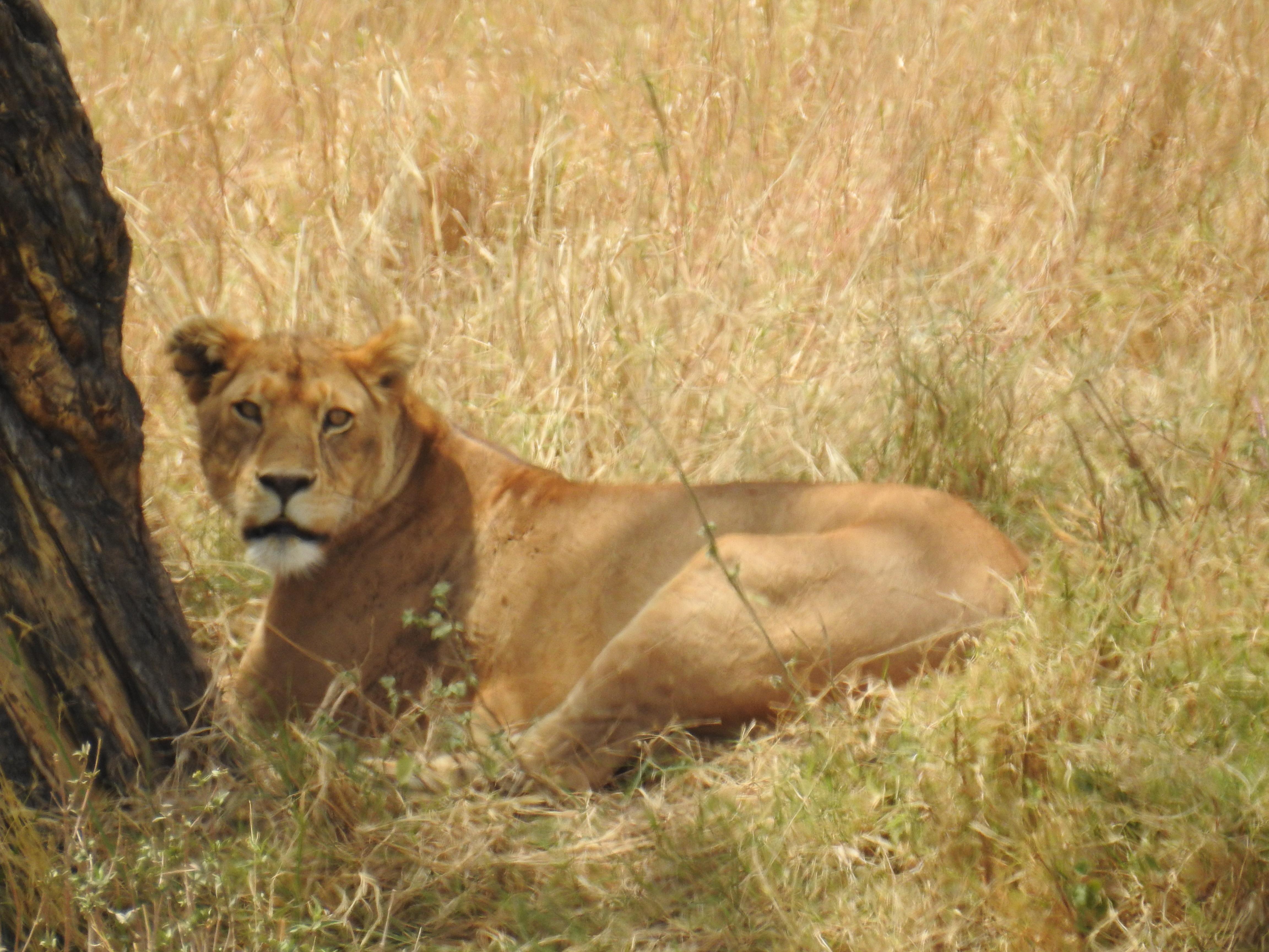 Lioness_waiting.jpg