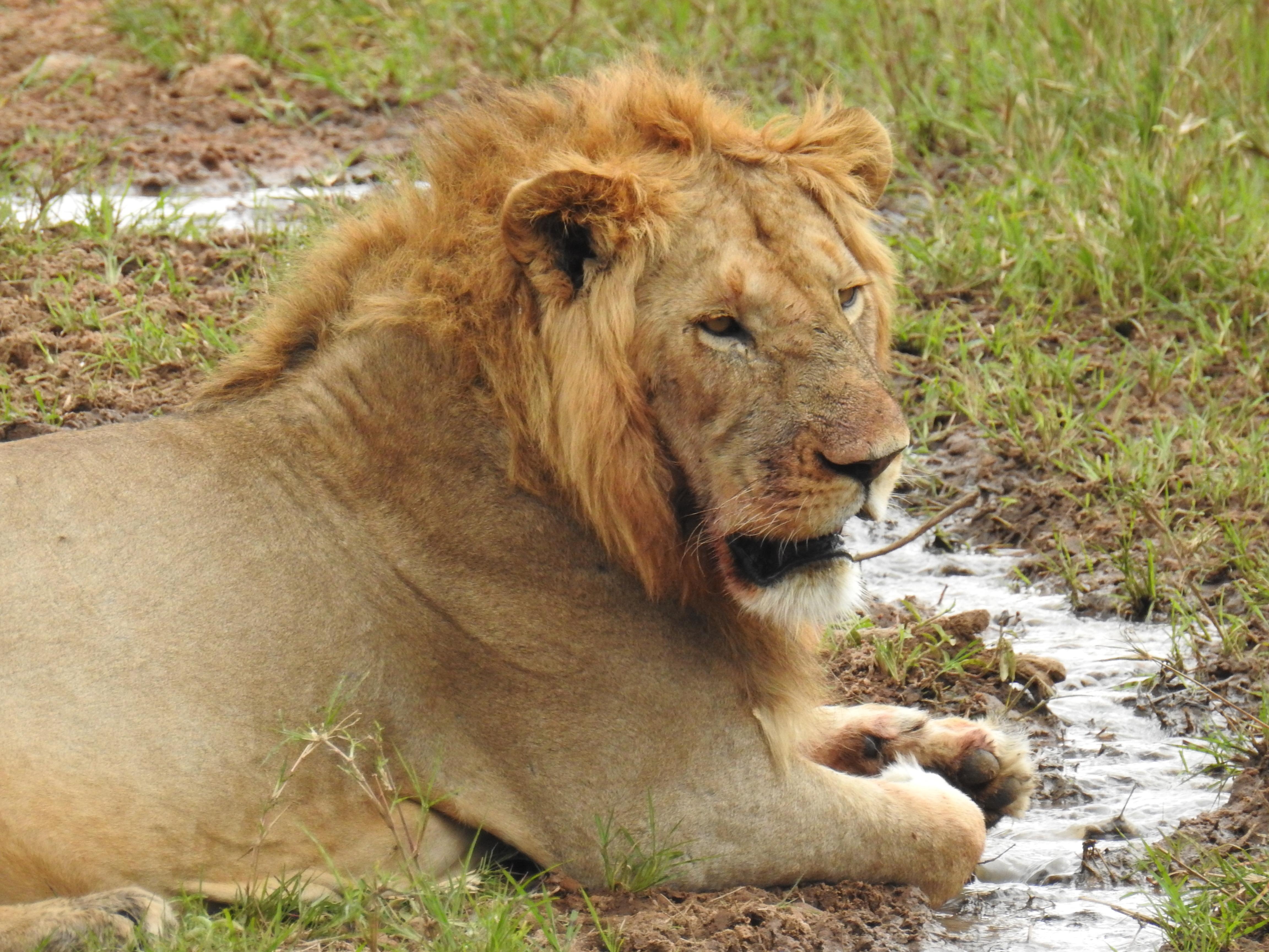 Male_lion.jpg