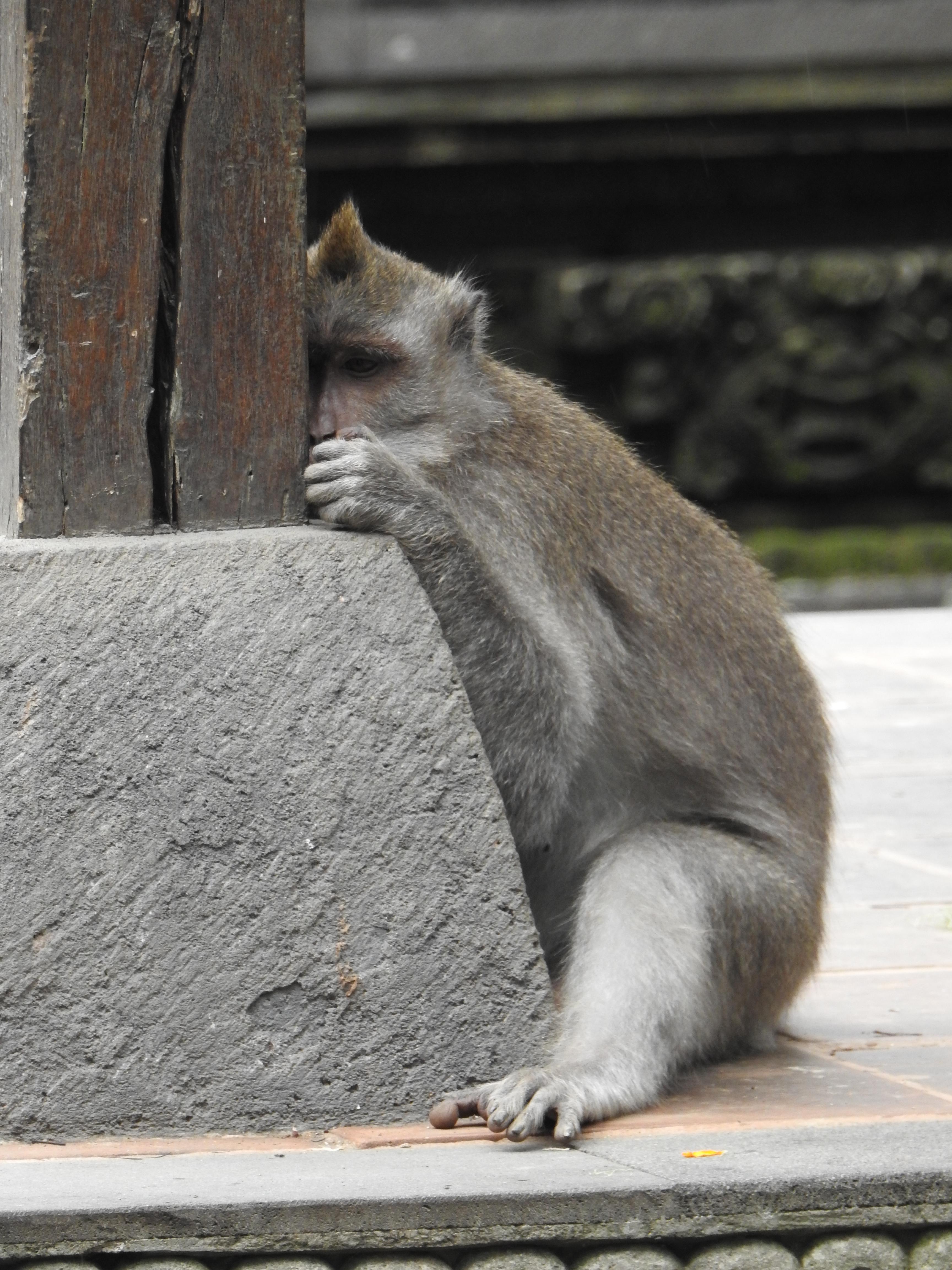 Monkey shy.jpg