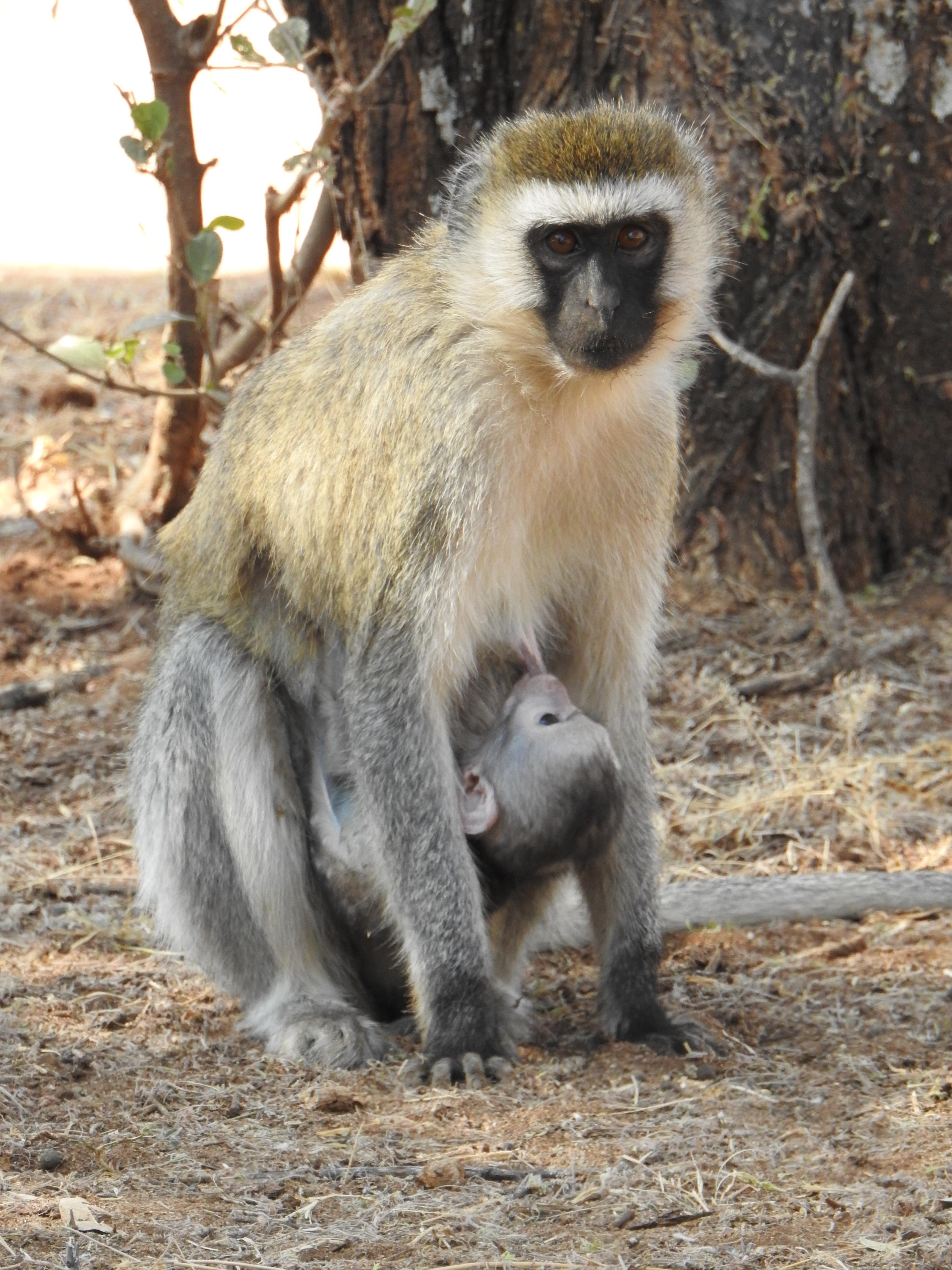 Monkey_nursing.jpg