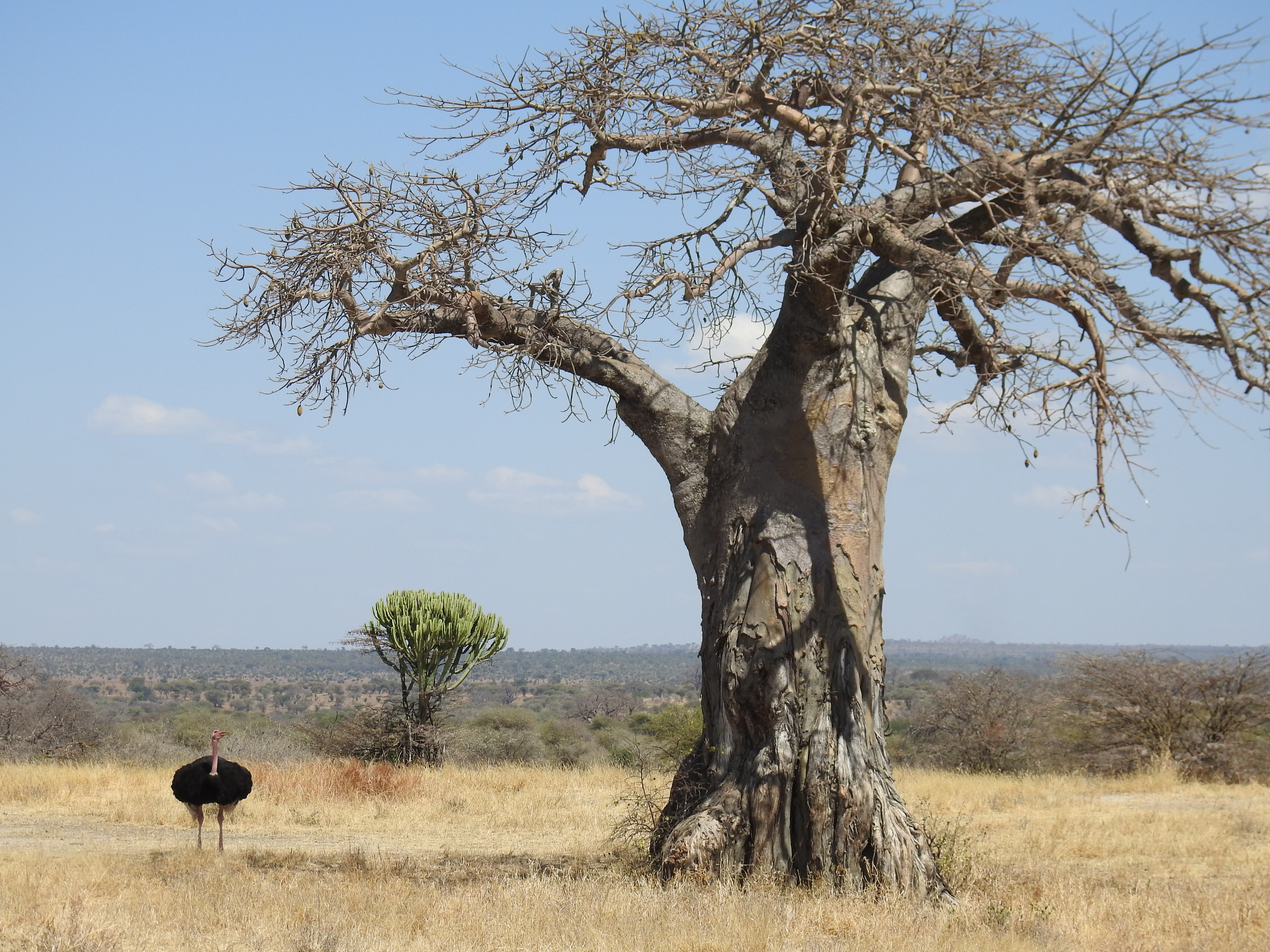 Ostrich_and_upside_down_tree.jpg
