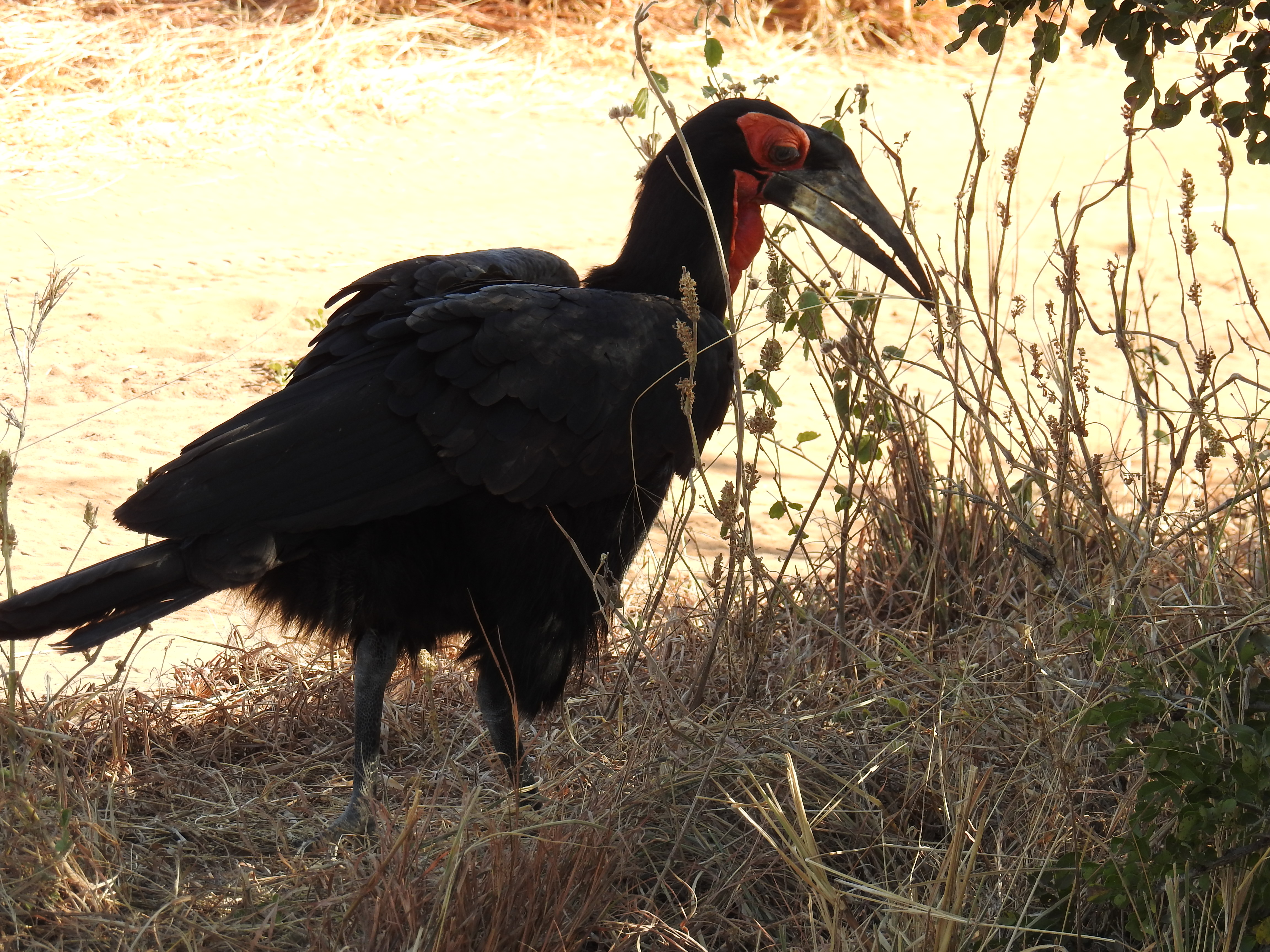 Red_and_black_bird.jpg