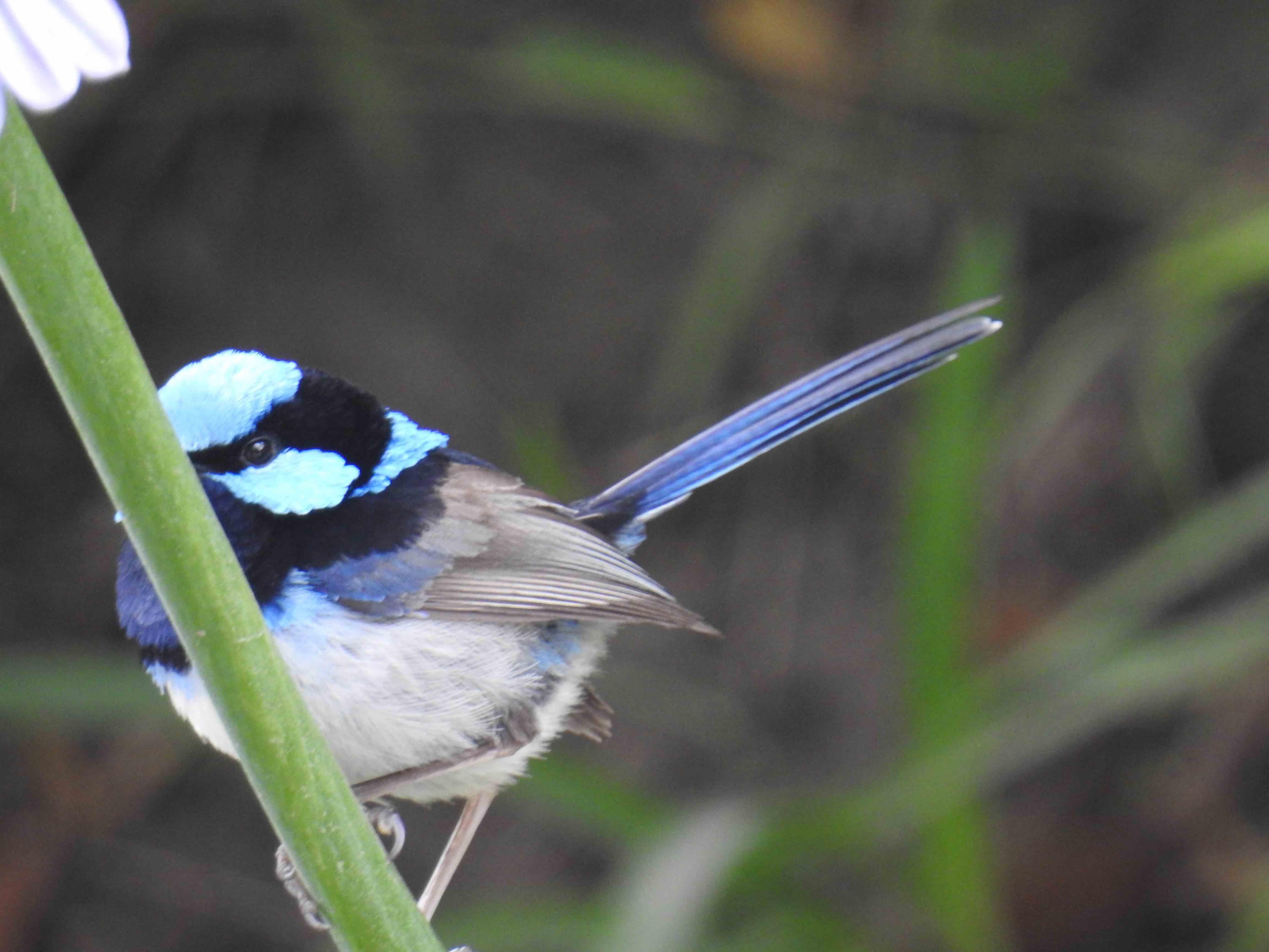 Small blue bird.jpg