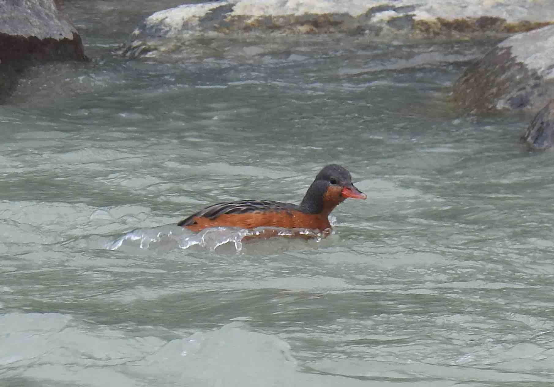 Torrent Duck1.jpg