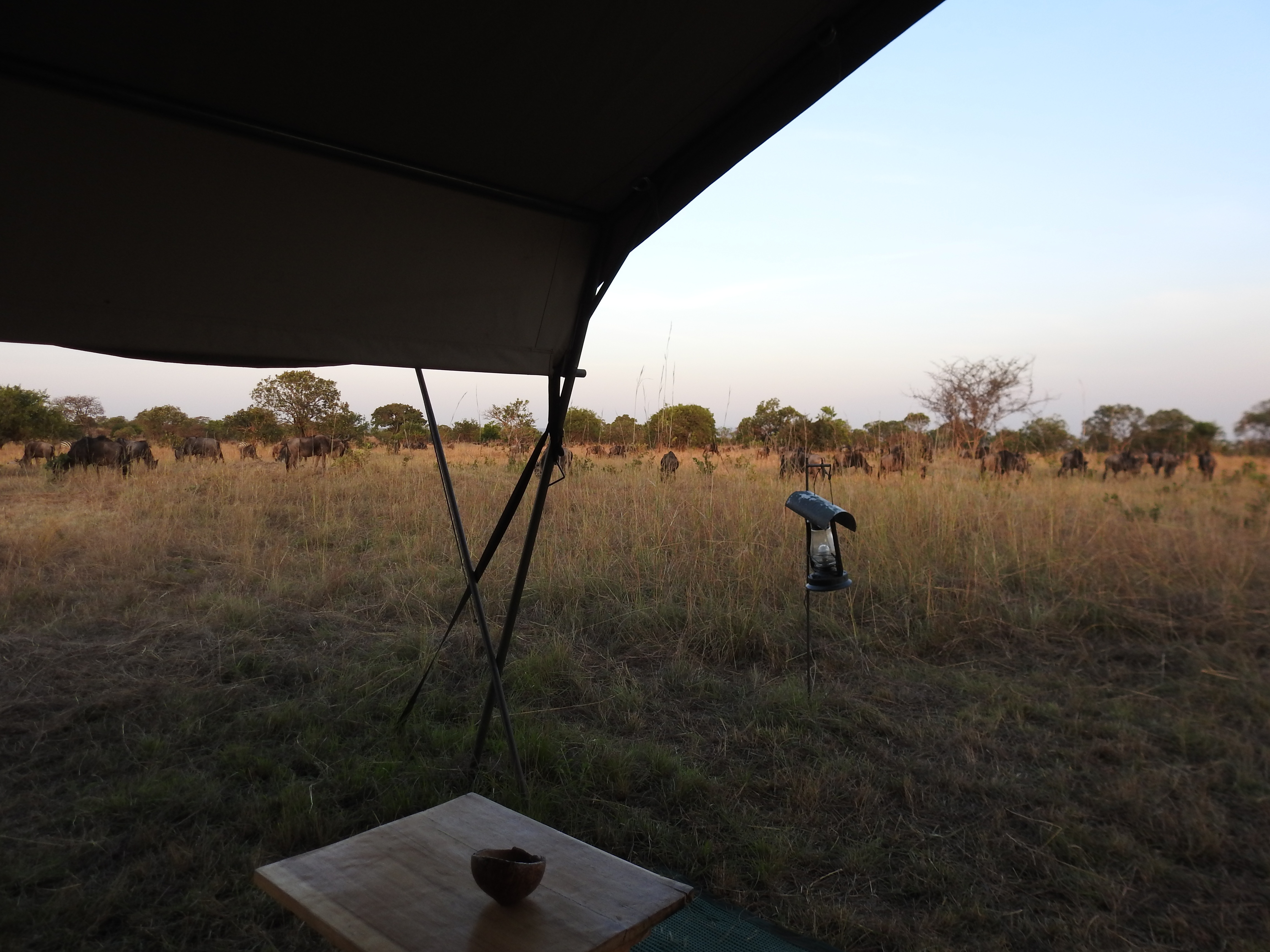 Wildebeest_from_tent.jpg