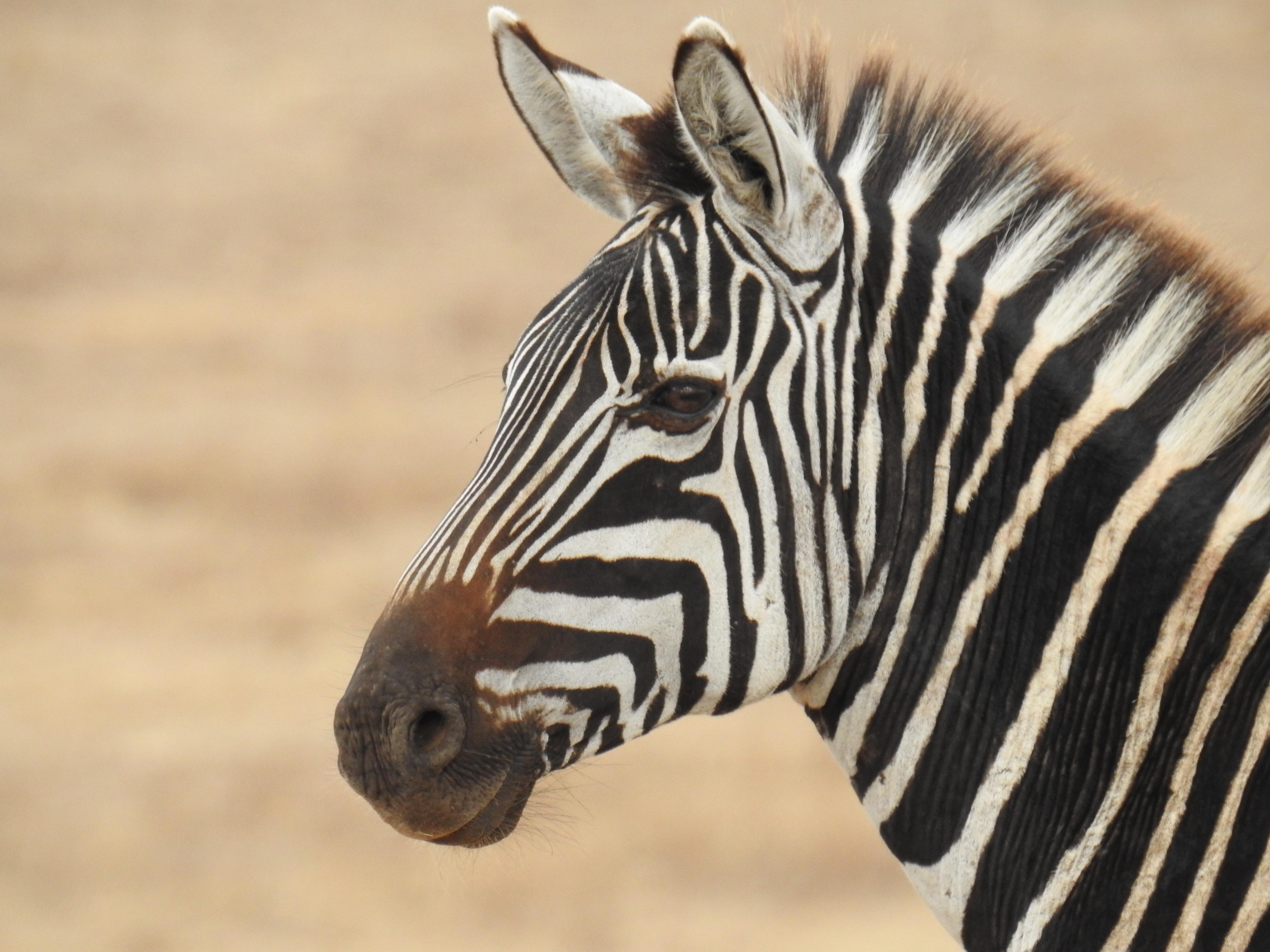 Zebra_profile.jpg
